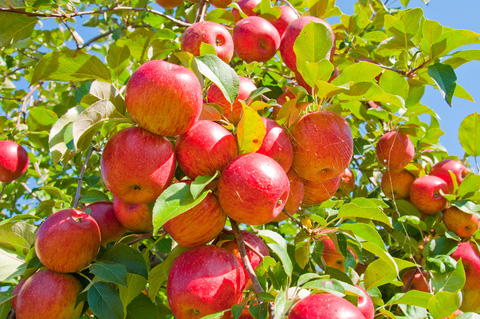 Apple tree with apples for picking